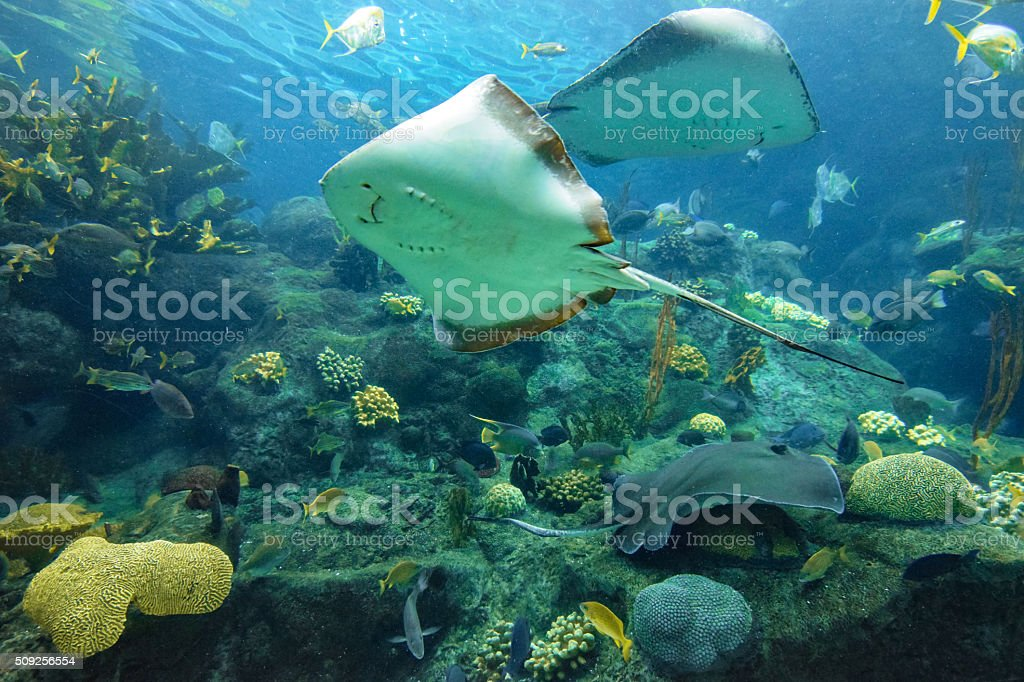 Stingrays on Coral Reef stock photo