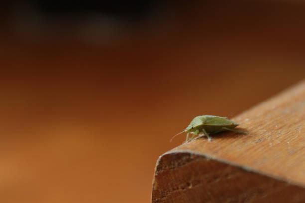Stink bug close up stock photo