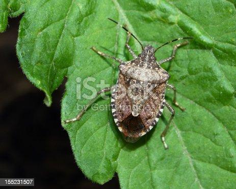istock stink bug on tomato plant 155231507