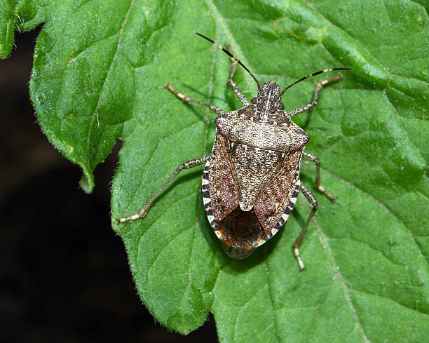 stink bug on tomato plant - introduced species stock pictures, royalty-free photos & images