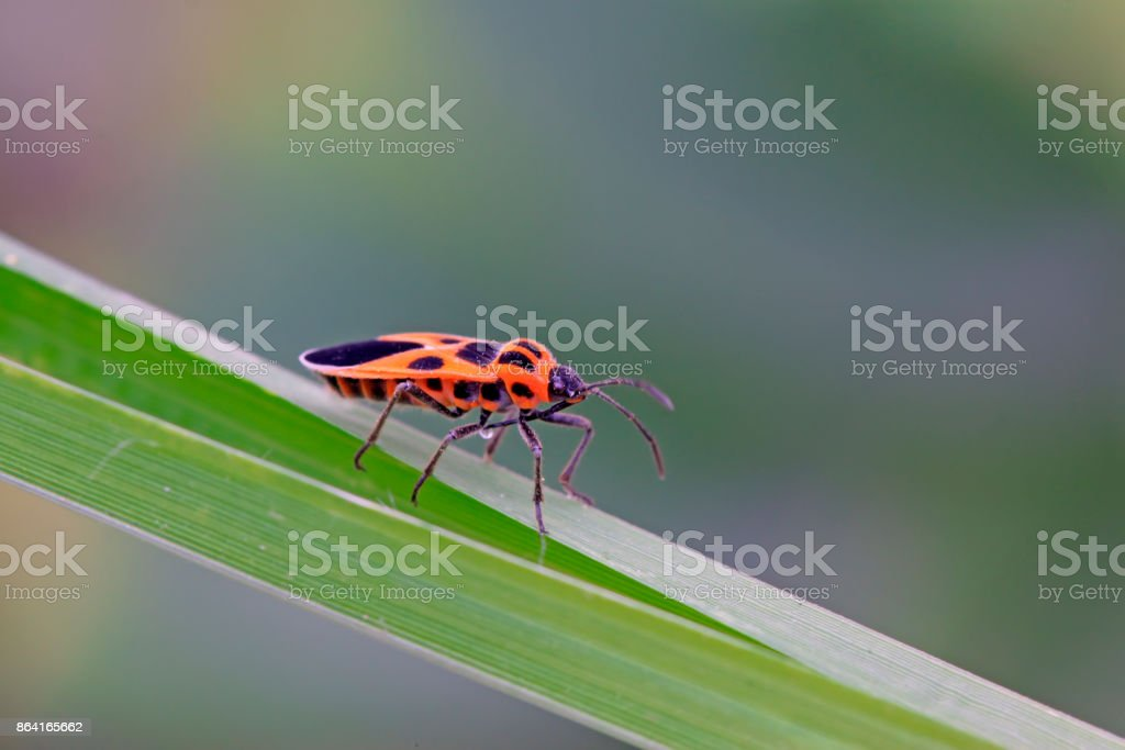 stinkbug on the green leaf, closeup of photo royalty-free stock photo