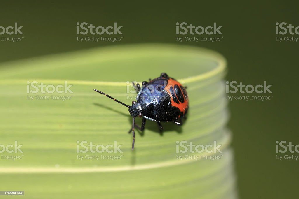 stinkbug royalty-free stock photo