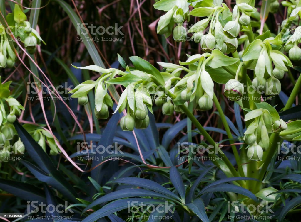 Stinking Hellebore Flowers Stock Photo Download Image Now Istock