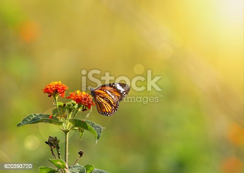 Stiped tiger butterfly with Sun rays