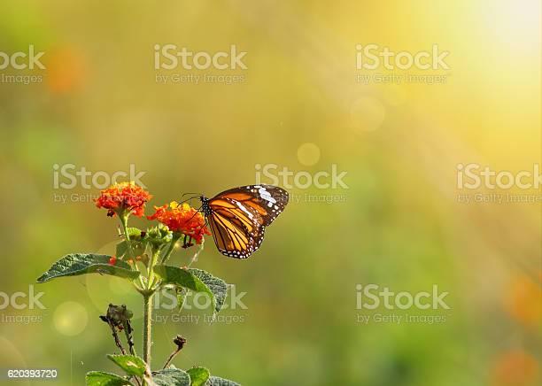 Stiped tiger butterfly picture id620393720?b=1&k=6&m=620393720&s=612x612&h=wwe3u1xd2 dipylh3jzflwkofht6j auu9np aoxgy8=