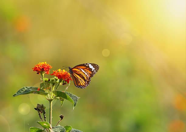 Stiped tiger butterfly picture id620393720?b=1&k=6&m=620393720&s=612x612&w=0&h=qxjp1rwsymr iircbqlrrmpdmhhjcili9crnirnddcm=