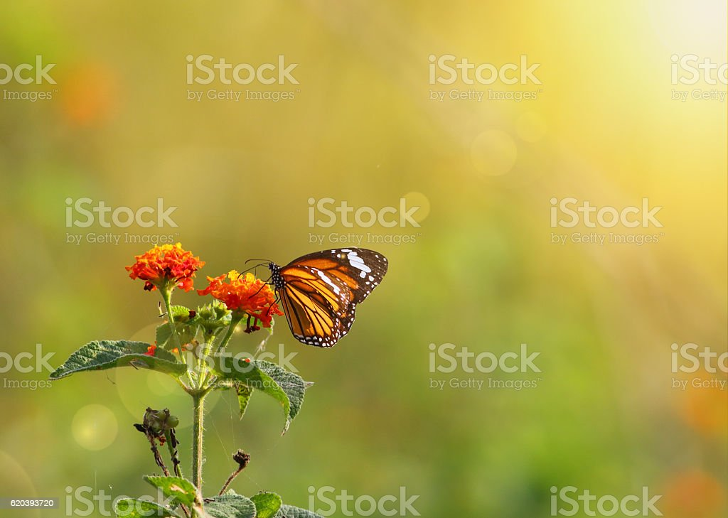 Stiped tiger butterfly stock photo