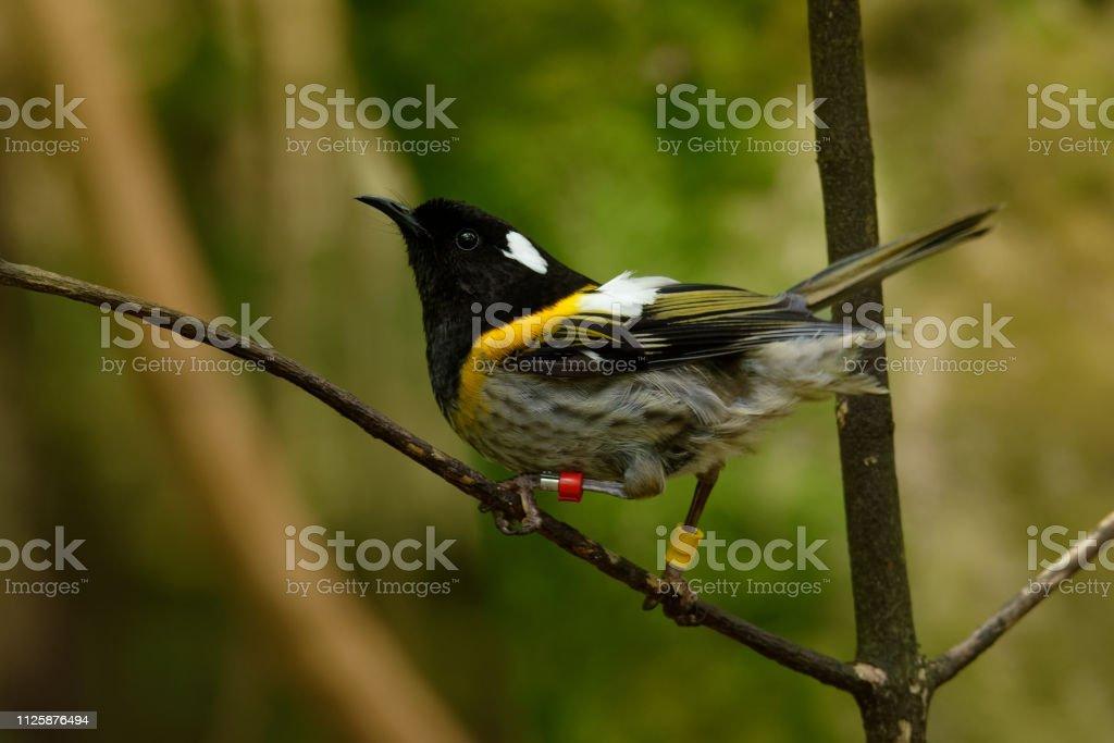 マオリ語地方特有の鳥でシロツノミツスイ Notiomystis Cincta Hihi ...