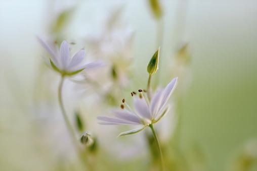 Stitchwort White summer flower closeup Stellaria graminea from sweden nature