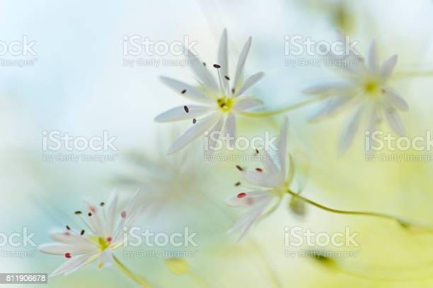 Stitchwort white summer flower closeup stellaria graminea picture id811906678?b=1&k=6&m=811906678&s=612x612&h=a a4fkezvnjct kxelkhc3scmiedjqrsq55r0zd9aui=