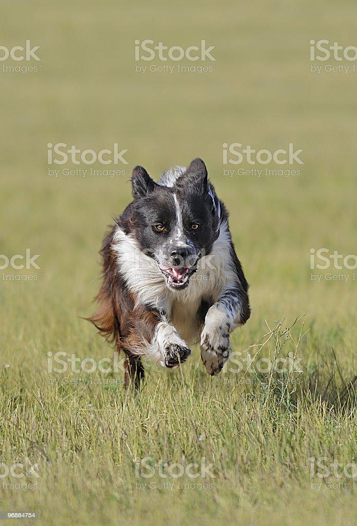 Hund läuft In Lizenzfreies stock-foto