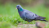 Stock Dove (Columba oenas) foraging in a lawn with bright green grass
