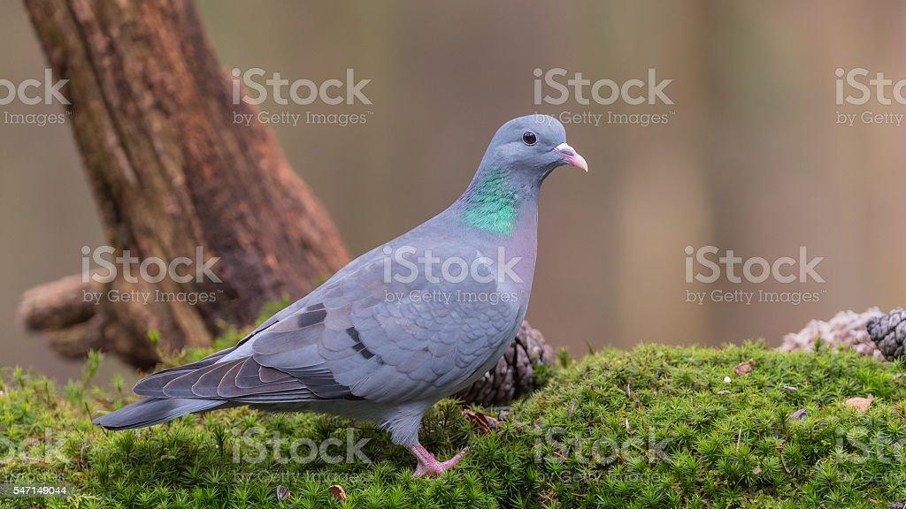 Stock Dove stock photo