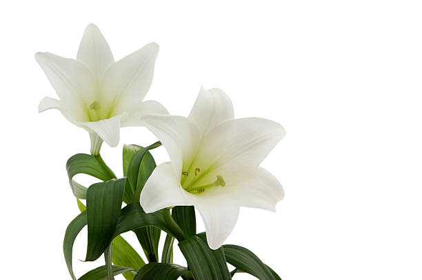 Stock Photo Easter Lily stock photo