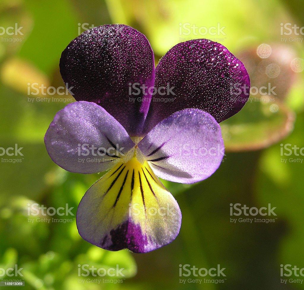 Stock Photo of Sweet Pea Flower royalty-free stock photo