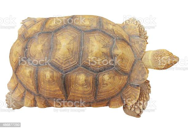 Stock photo turtle isolated on white background picture id486877250?b=1&k=6&m=486877250&s=612x612&h=6z2ulo0i ufsokyo cevyxlslxy340y2zdso bq0uus=