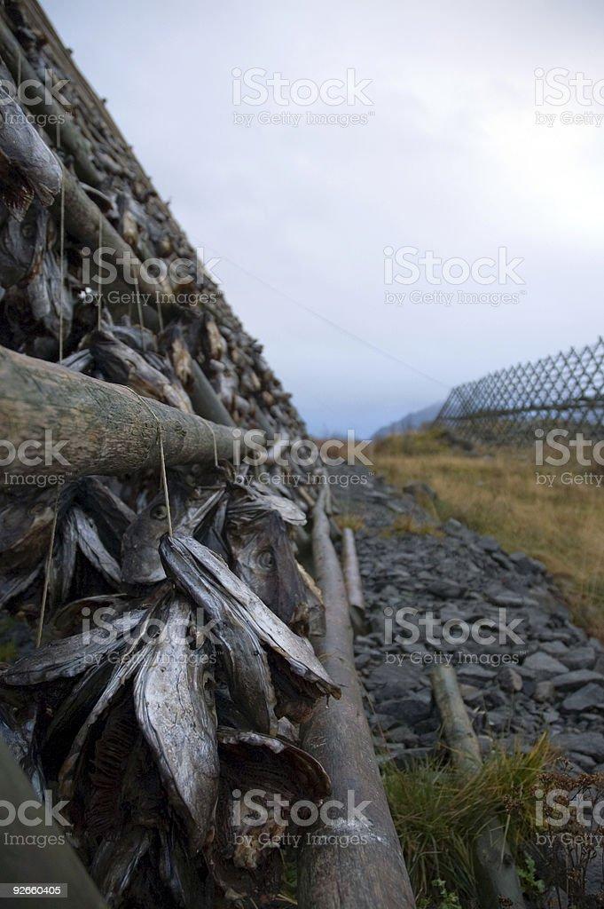 Stockfish Lofoten stock photo