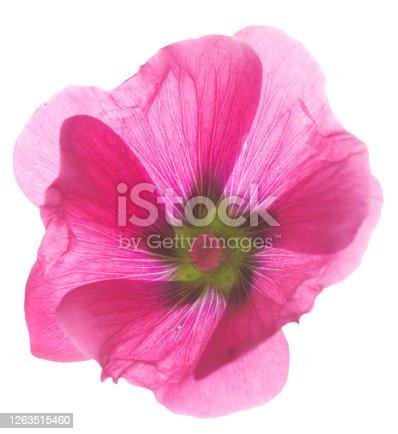 Stockrose flower isolated on white background