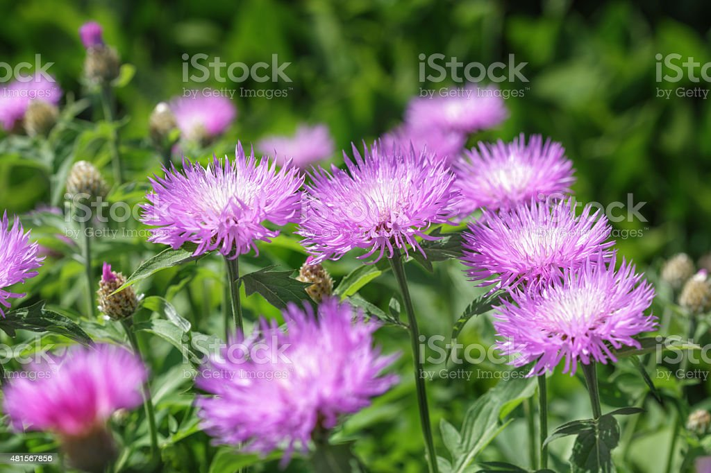 Stokesia laevis stock photo