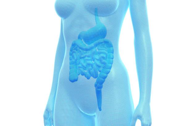 Stomach and Intestine, Female Human Body, Internal Organ, Medical 3D Illustration stock photo
