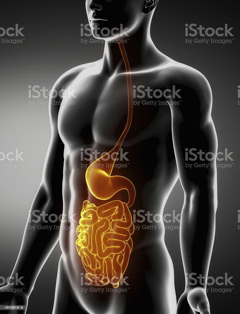 Stomach And Intestine Male Anatomy Anterior Xray View Stock Photo ...