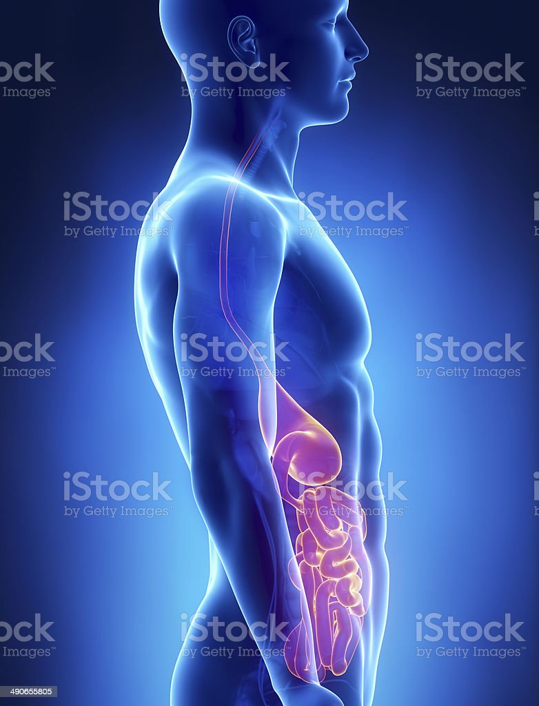 Stomach and intestine  male anatomy lateral x-ray view stock photo