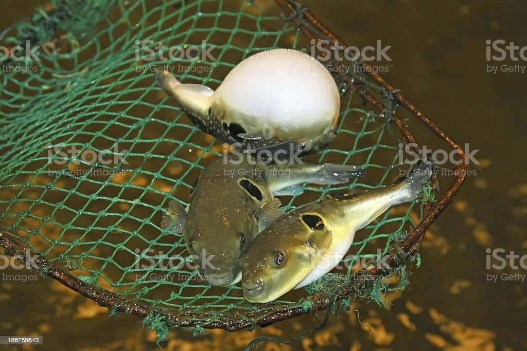 stomach bouffant puffer fish in a aquacultural grounds royalty-free stock photo