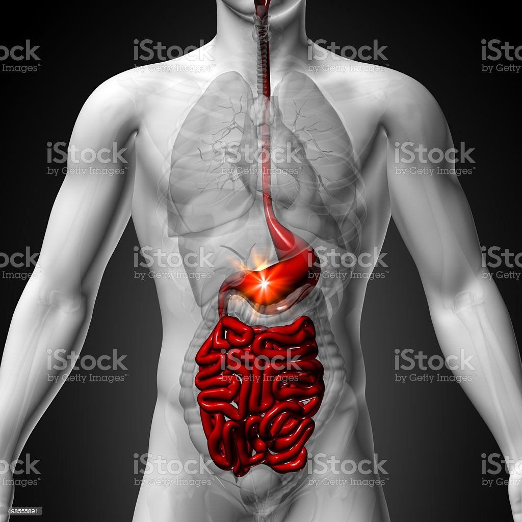 Stomach Guts Small Interstine Male Anatomy Of Human Organs Stock