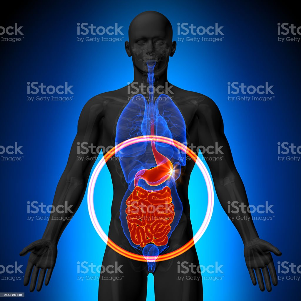 Stomach Guts Small Intestine Male Anatomy Of Human Organs Stock