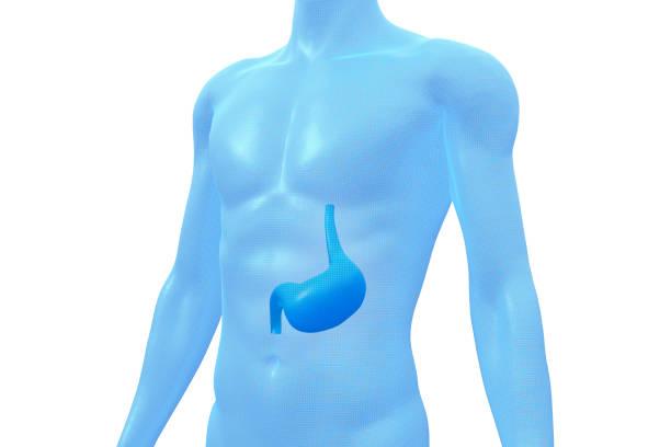 Stomach, Human Body Organ, Medical 3D Model stock photo