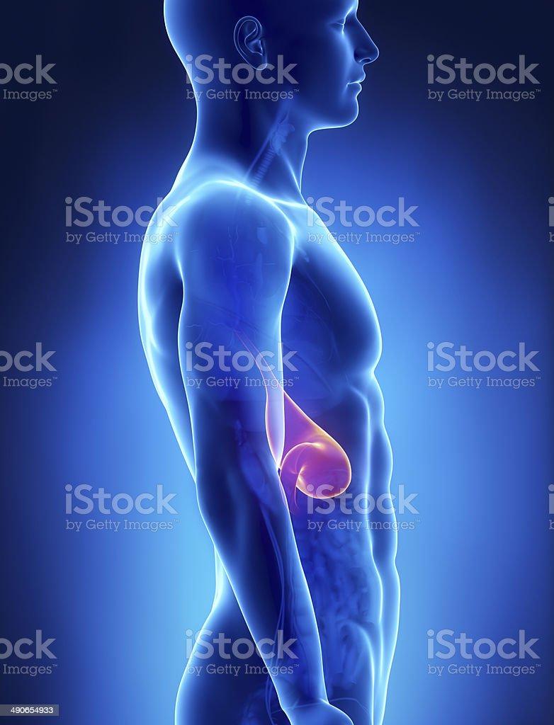 Fotografía de Estómago Hombre Anatomía Vista Lateral De Rayos X y ...