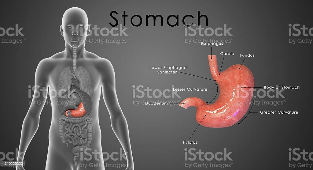 Stomach stock photo