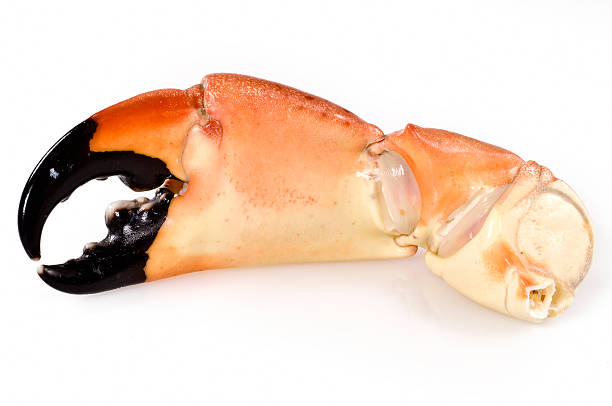 stone crab claws  claw stock pictures, royalty-free photos & images