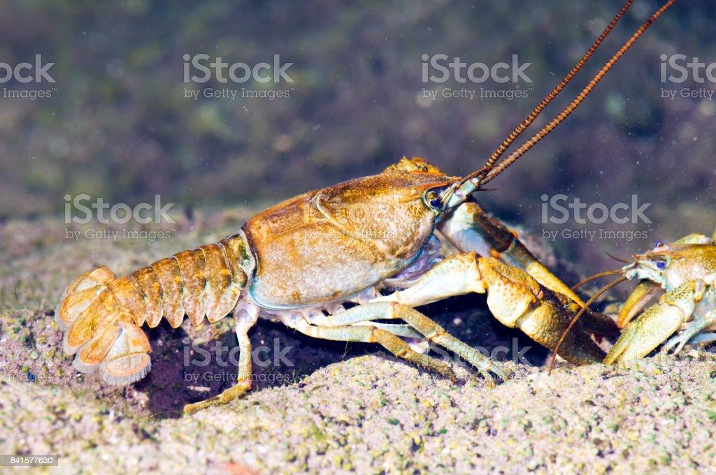 Stone crayfish (Austropotamobius torrentium) stock photo