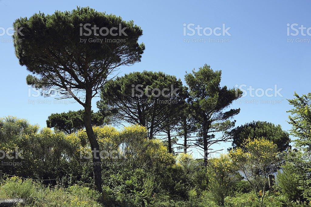 Stone pine and spanish broom stock photo