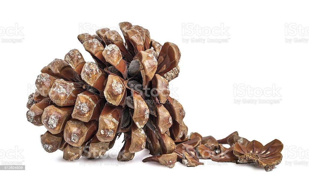 Stone pine cone (Pinus pinea) on white backgroun stock photo