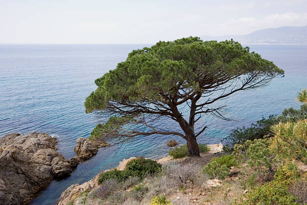 stone pine on the coast of mediterranean sea  cusp stock pictures, royalty-free photos & images