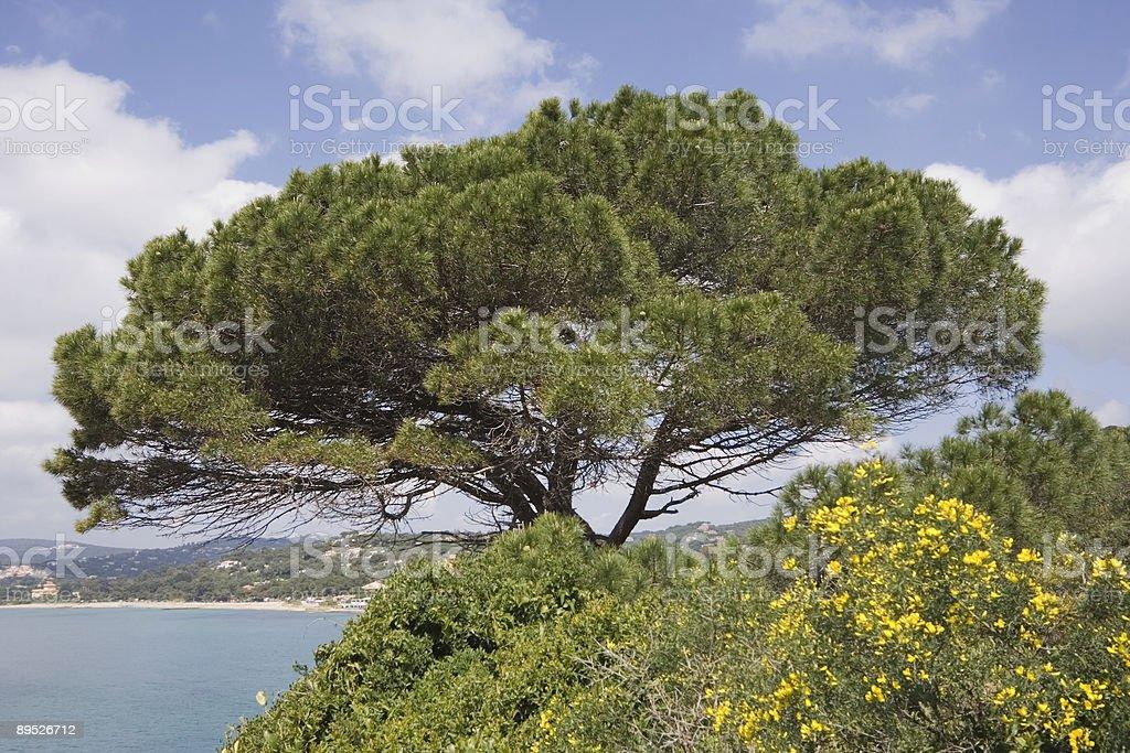 stone pine on the mediterranean sea royalty-free stock photo