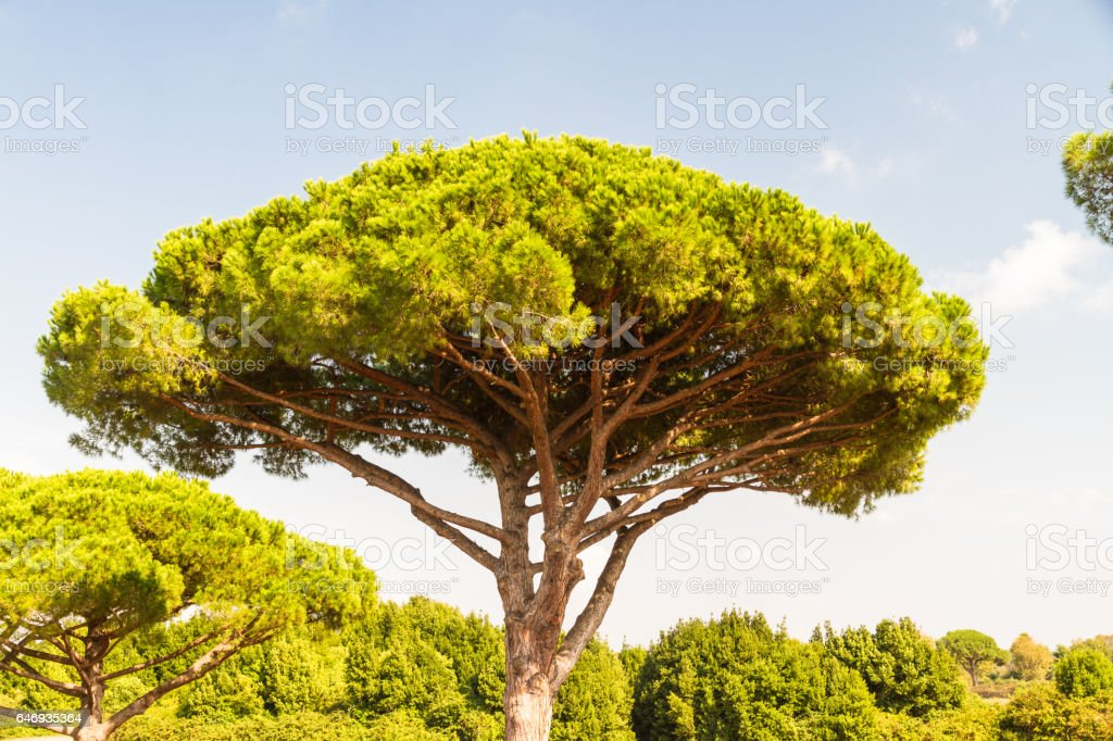 Stone pine or Pinus pinea stock photo