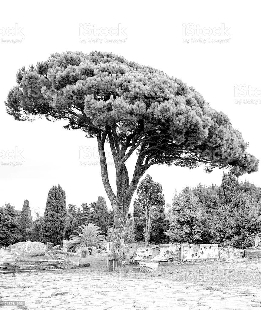 Stone Pine stock photo