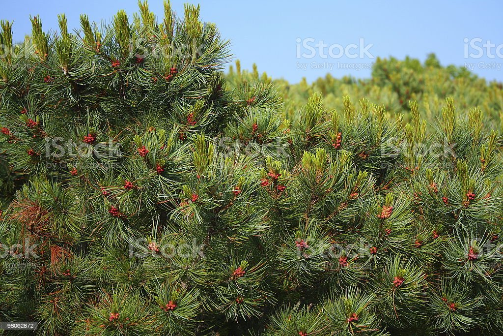 Stone pine royalty-free stock photo