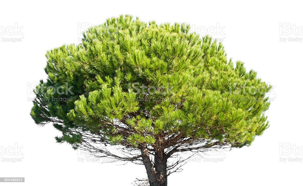 Stone pine, Pinus Pinea, isolated on white background stock photo