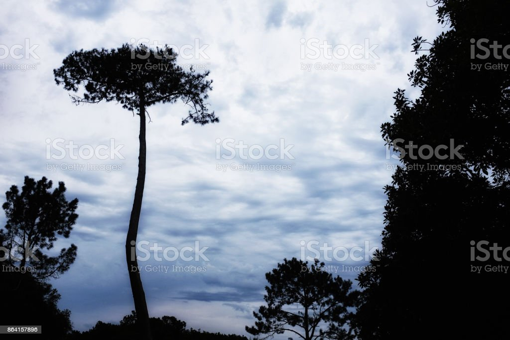Stone pine silhouetted against moody sky. Beautiful. royalty-free stock photo