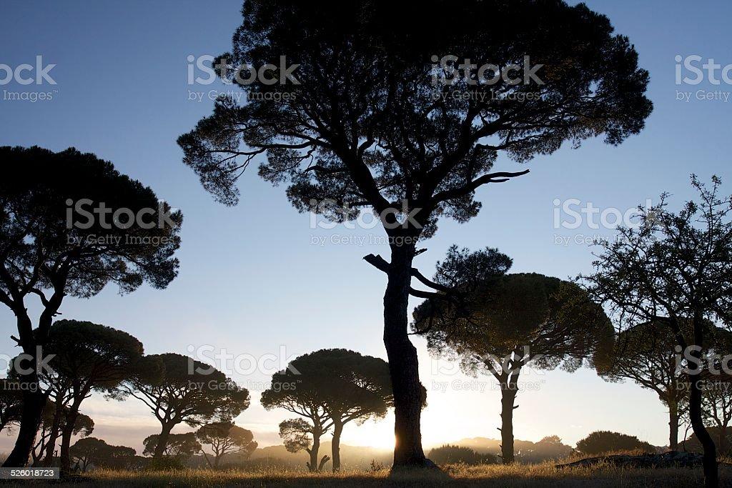 Stone Pine Trees (Pinus Pinea) in the Sunrise stock photo