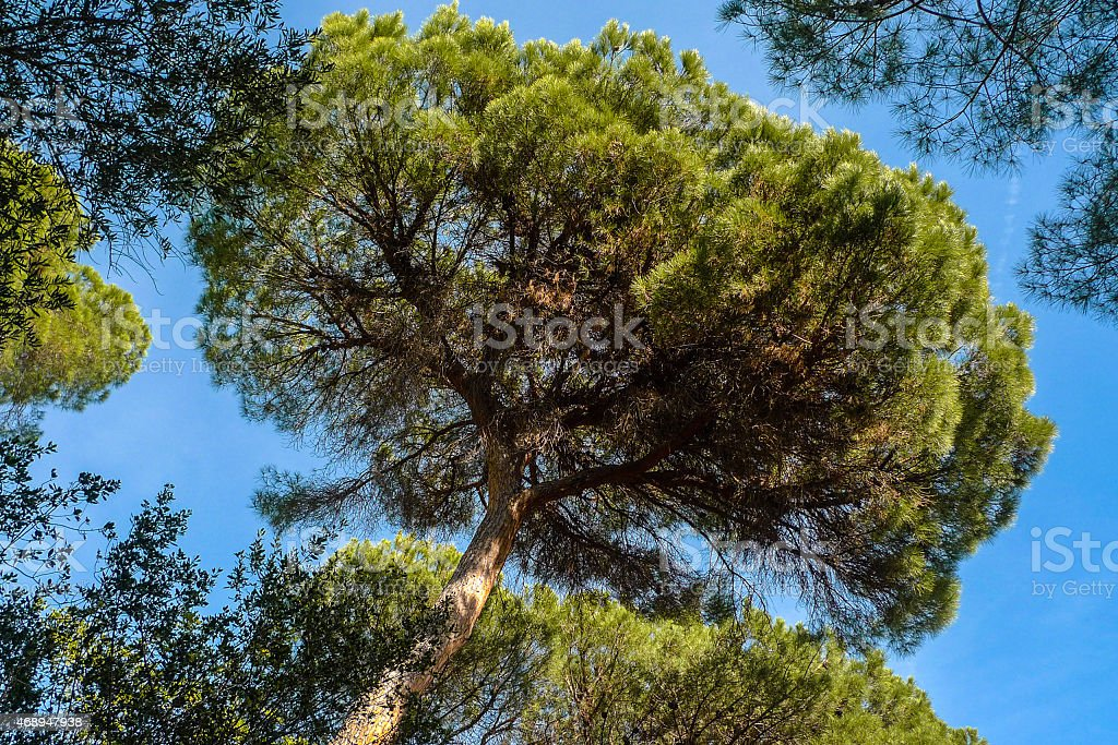 Stone pine trees stock photo