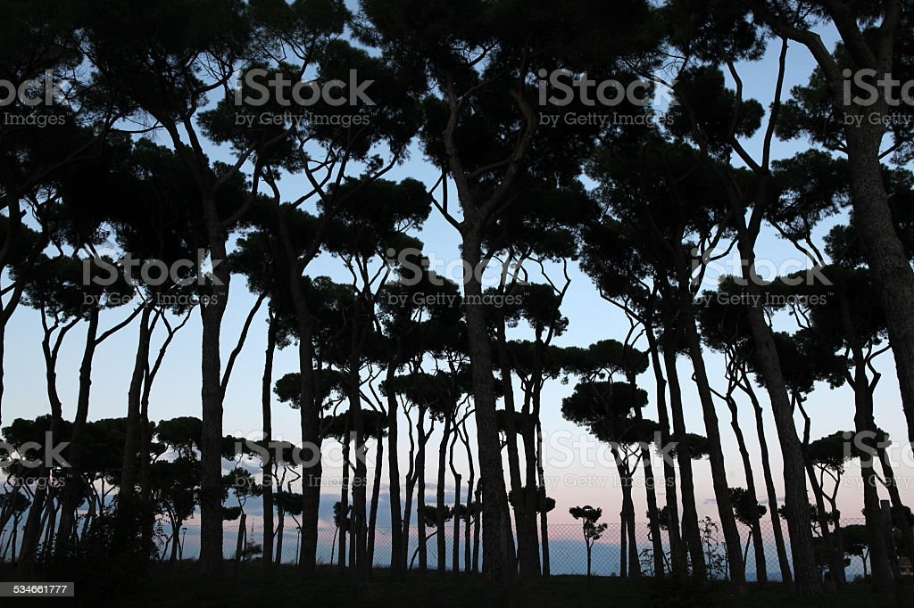 Stone pines at sunset in Rome, Italy, stock photo