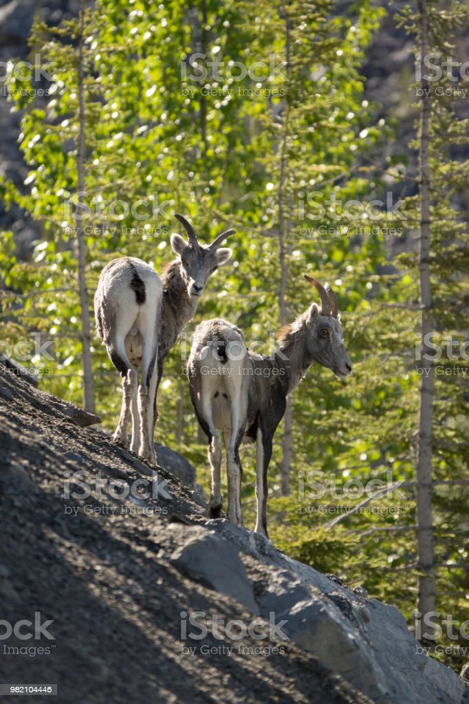 Stone sheep walk cliff Stone Mountain Provincial Park British Columbia Canada stock photo