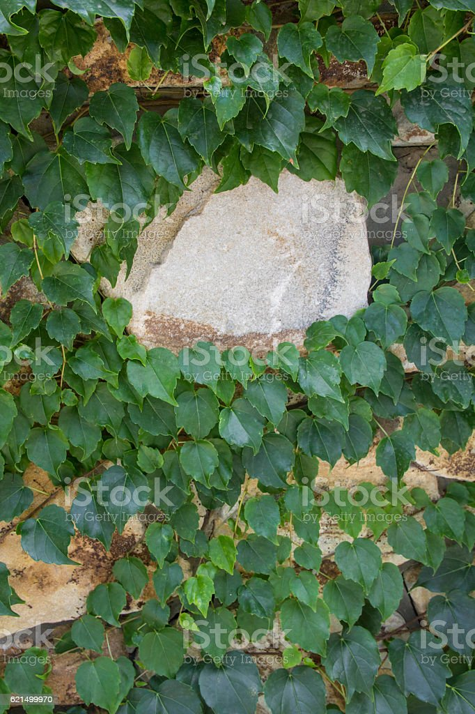 Stone wall and green ivy photo libre de droits