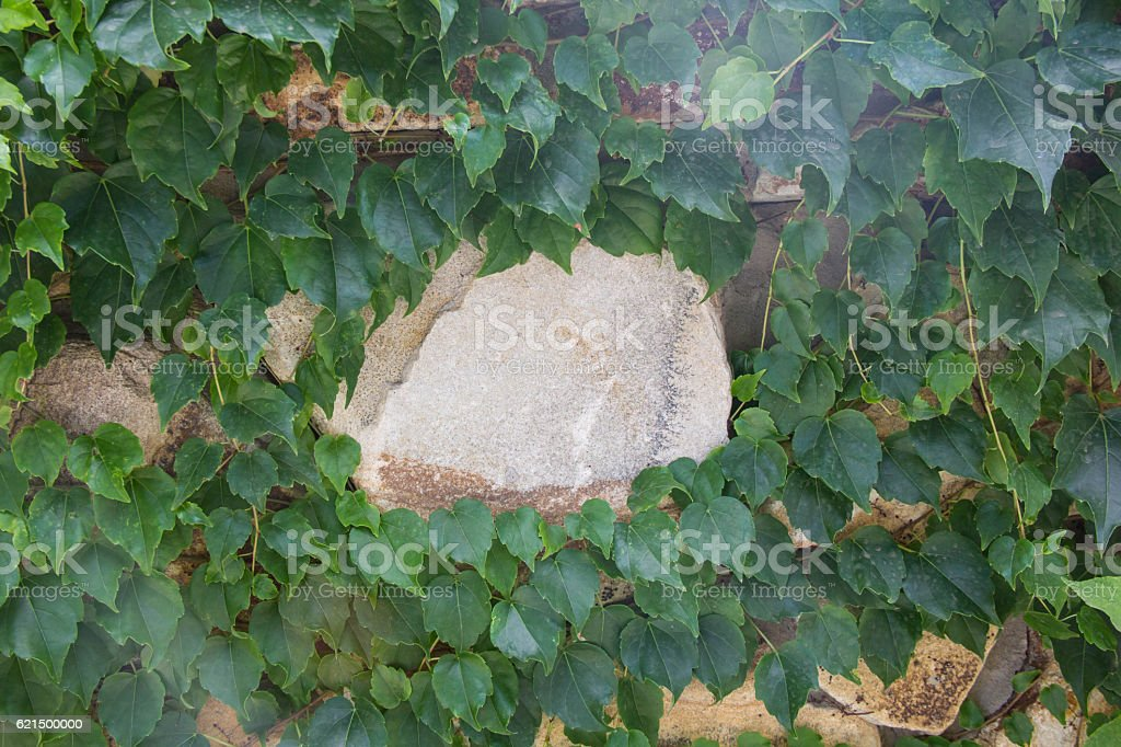 Stone wall and green ivy photo libre de droits
