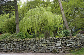 Stone wall and weeping willow in Cheshire, England